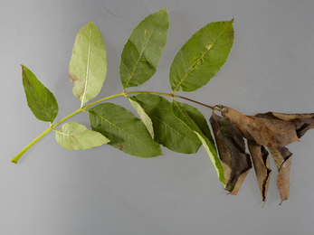 Ash leaves with end leaves brown and withered