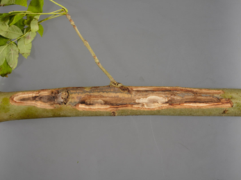 Ash branch with decayed central portion