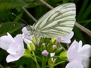 A white butterfly with green veins along its wings