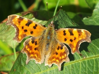 Orange butterfly with brown patterned wings