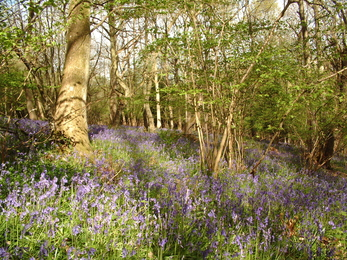 Bluebells accross a woodland