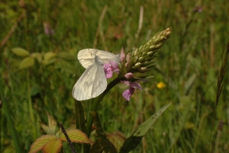 Two wood white butterflies on an orchid