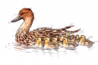 Illustration of a duck with eight ducklings - one wearing a snorkel!