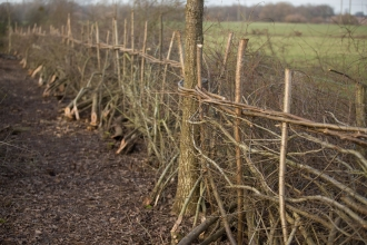 A newly laid hedge in winter