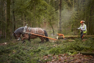 Horse pulling a log through woodland with person behind