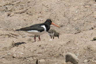 Oystercatcher and chick stood on bare earth slope