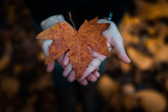 Hands held out holding a large maple leaf