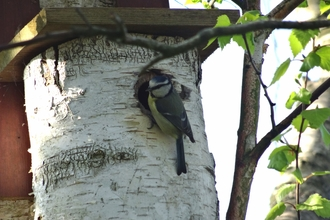 Blue tit perched in entrance of natural nest box