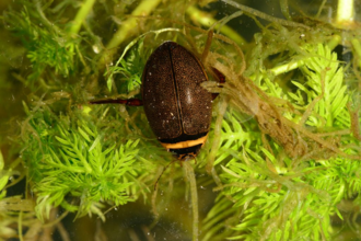 Brown beetle with yellow stripe across head in water weed