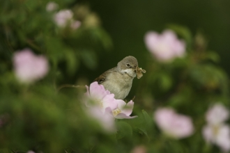 Small bird in hedgerow with pink flowers around