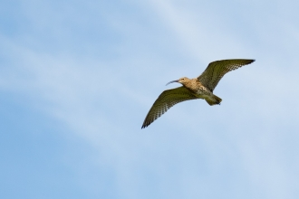 Curlew in fight against blue sky