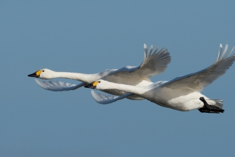 Pair of Bewick swans in flight