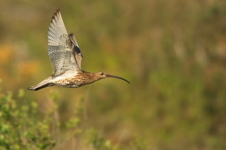 Curlew in flight with vegetation behind
