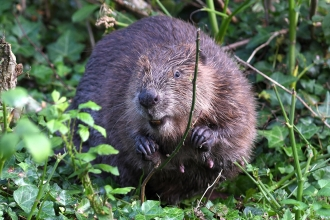 Beaver amongst vegetation