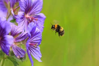 Bumblebee flying towards a purple cranesbill flower