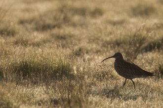 curlew silhouetted against grass in early morning light