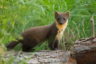 Pine marten youngster on fallen pine log in woodland