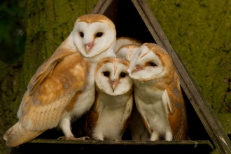 Family of barn owls in barn owl box