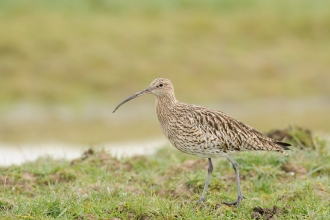 Curlew stood on grassland
