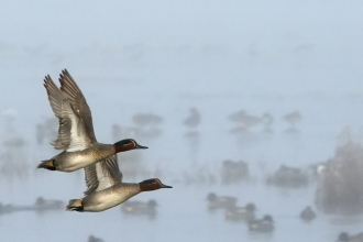 Two drake common teal in flight past Wigeon group swimming and standing on flooded field on a foggy winter morning.