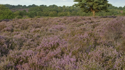 Heather (Calluna vulgaris)