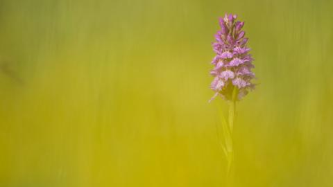 Common Spotted Orchid (c) Mark Hamblin/2020VISION
