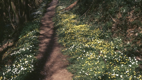 Woodland path with celandine and anenomes