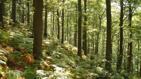 Woodland trees with bracken covering woodland floor