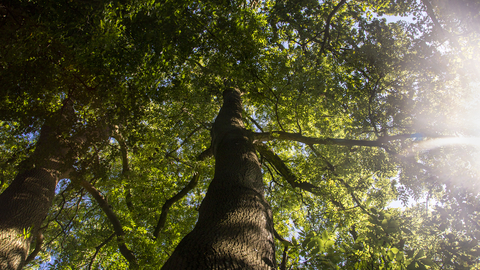 View up into the canopy of a large tree with sunlight bleeding through