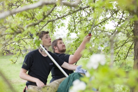 Two young men pruning an apple tree