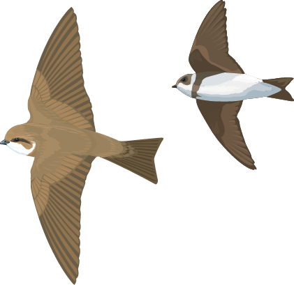 Illustration of two sand martin in flight