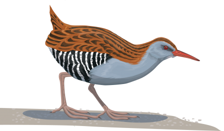 Illustration of a water rail