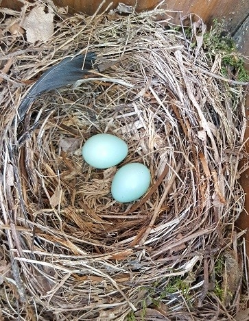 Nest with two blue eggs inside