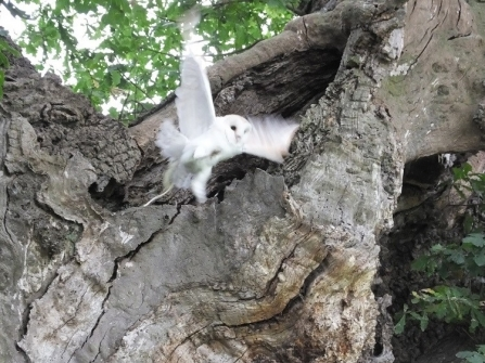Barn owl flying from a tree