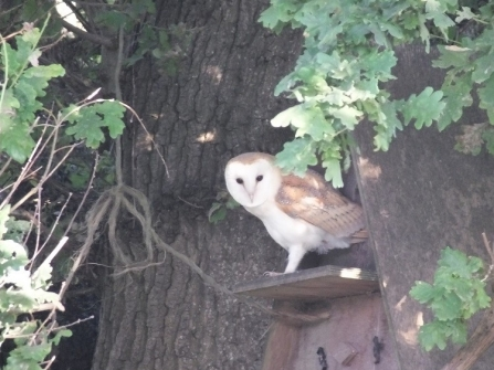 Barn owl stood at the entrance of a box in an oak tree