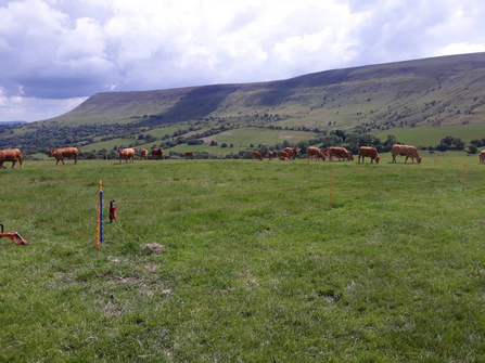 Field of chestnut-coloured cattle with hill behind and an electric fence in foreground