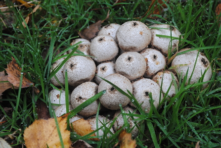Cluster of white round fungi in grass