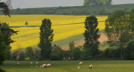 Farmed landscape with grazing sheep in foreground and yellow fields sloping above