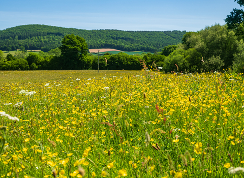 Wildflower meadow of yellow and white flowers with tall hedgerow in background and hills beyond