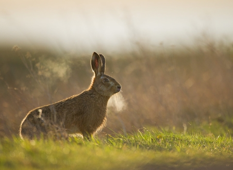 Brown hare in grassland