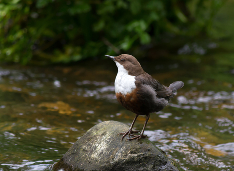 Brown bird with white breast and throat standing on rock in a stream